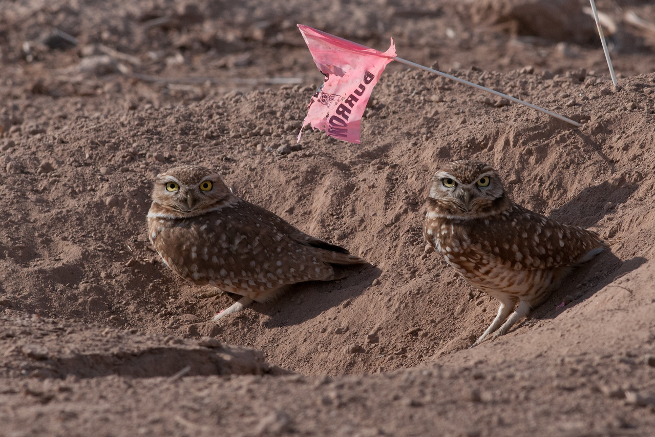 Burrowing Owls. In the Imperial County, California many of these owl burrows are located along agricultural ditchbanks and roads. They are often marked with a pink flag on a wire, as here, to help agricultural traffic avoid crushing the burrows.