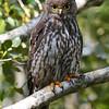 Barking Owl (Ninox connivens), Tallebudgera Creek, Burleigh Heads, Queensland.