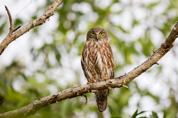 Barking Owl_David Stowe_7041