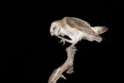 Eastern Barn Owl - Tyto delicatula Nifold Plain, Lakefield NP, QLD, Australia