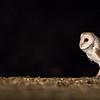 Eastern Barn Owl - Tyto delicatula<br /> Nifold Plain, Lakefield NP, QLD, Australia
