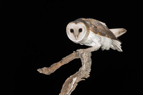 Barn Owl-6267©David Stowe