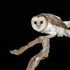 Barn Owl-6267©David Stowe