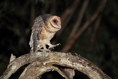 Masked Owl_DSP_0060