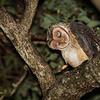 Masked Owl<br /> Allyn River, NSW, Australia