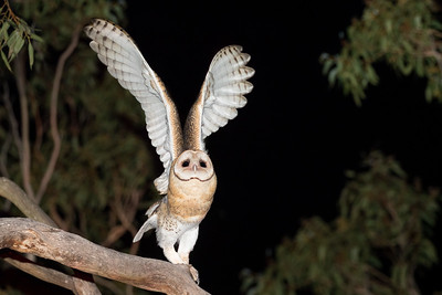 Masked Owl_DSP_0483R