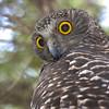 David Stowe-Powerful Owl-8989