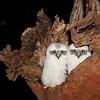 PowerfulOwl chicks_1235c1