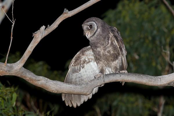 D Stowe_Sooty Owl-0046-2-Edit