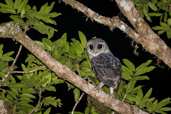 David Stowe_Lesser Sooty Owl-8445