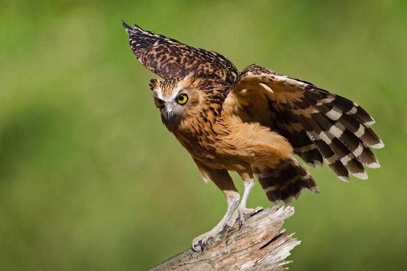 Bengal eagle-owl (Bubo bengalensis)
