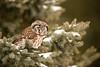 ARPT-13-152: Boreal Owl (Aegolius funereus)