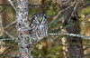 Boreal Owl in Spruce-Tamarack bog