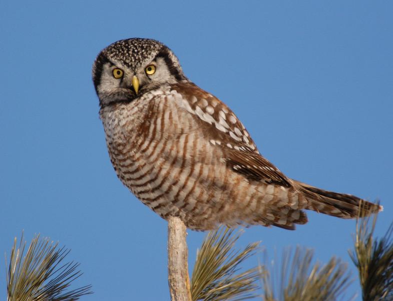 ANH-5022: Northern Hawk Owl (Surnia ulula)
