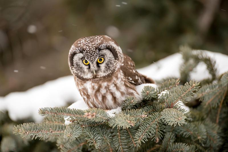 ARPT-13-168: Boreal Owl on the hunt (Aegolius funereus)