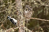 Boreal Owl and Hairy Woodpecker