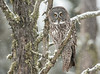 Great Gray Owl in falling snow
