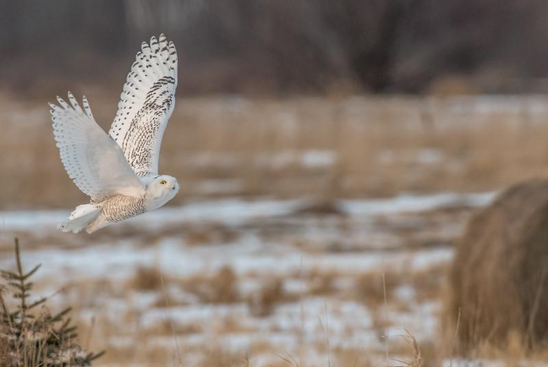 Female Snowy in flight