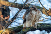 Red-tailed Hawk with chipmunk breakfast