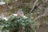 ARPT-13-105: Boreal Owl in habitat (Aegolius funereus)
