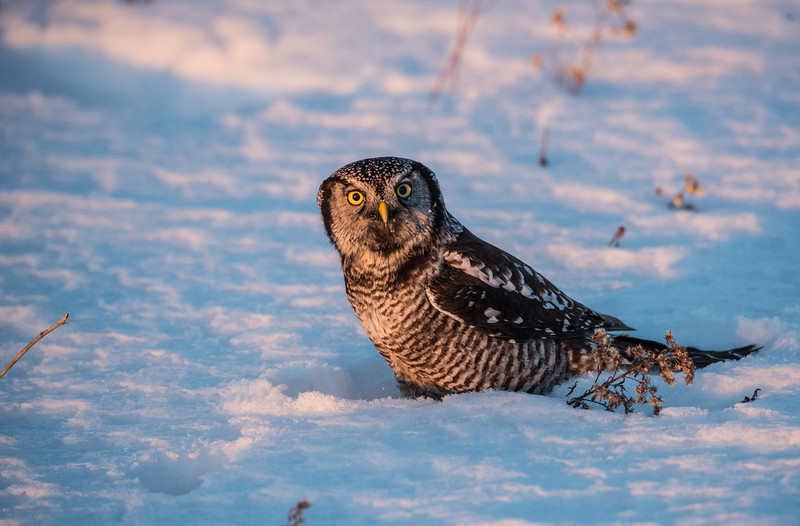 Northern Hawk Owl at sunset