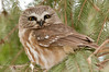 ART-12019: Northern Saw-whet Owl in conifer forest (Aegolius acadicus)