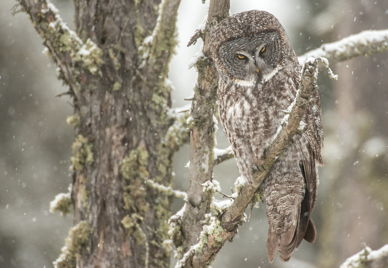 Great Gray Owl searching for prey