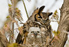 AGH-9140: Great Horned Owl and owlette (Bubo virginianus)