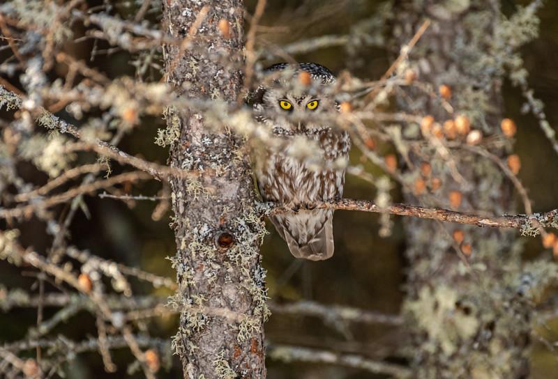 Peek-a-boo Boreal Owl
