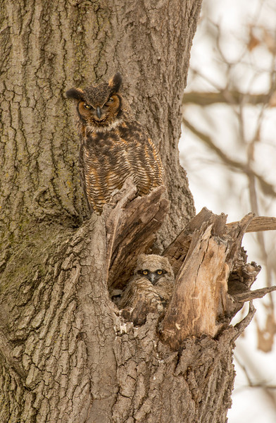 Great Horned adult with owlet