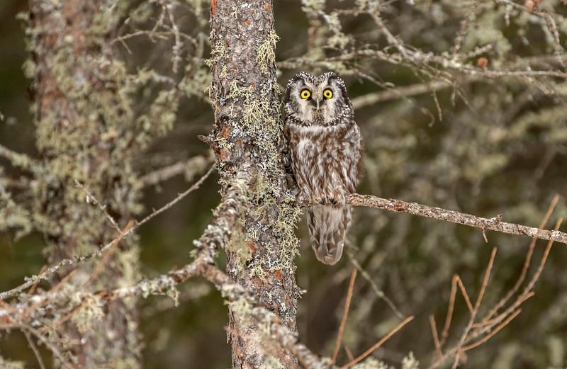 Boreal Owl on perch