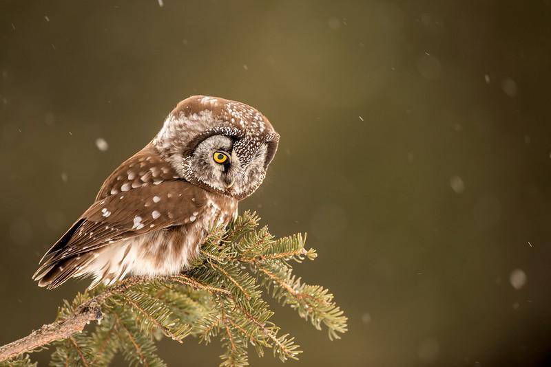 ARPT-13-149: Boreal Owl in falling snow (Aegolius funereus)