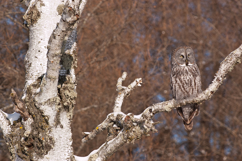AGG-50085: Great Gray Owl resting on old Brich (Strix nebulosa)