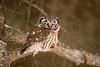 ARPT-13-161: Snoozing Boreal Owl (Aegolius funereus)