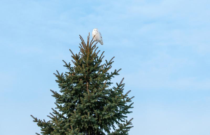 Pine tree perch