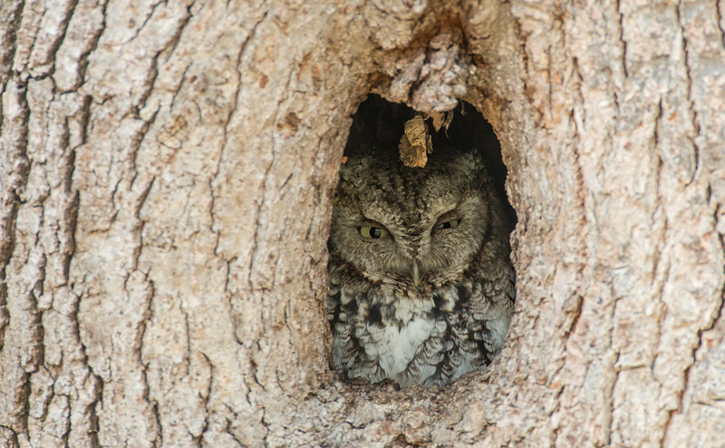 Gray phase Screech Owl in cavity
