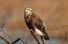 Female Rough-legged Hawk
