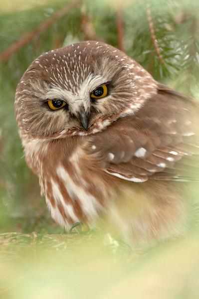 ART-12029: Portrait of a Northern Saw-whet Owl (Aegolius acadicus)