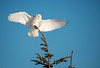 Snowy Owl landing on perch