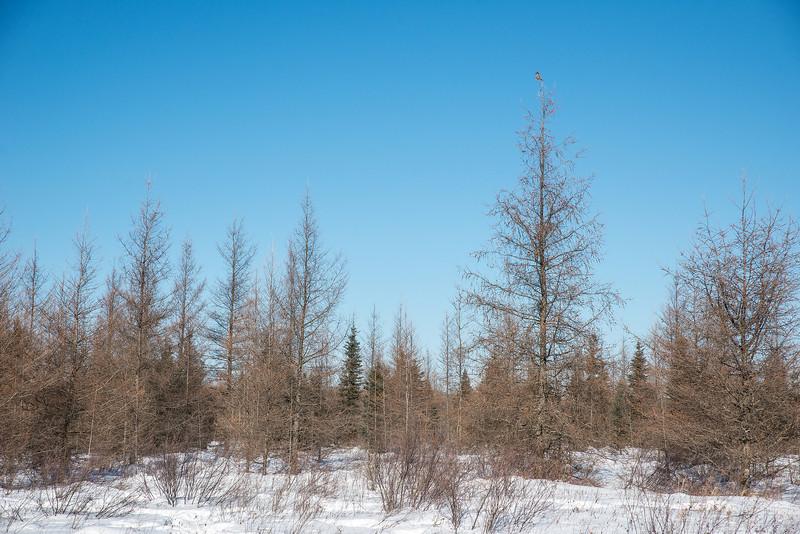 Northern Hawk Owl in habitat