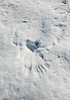 Raptor wing imprints (Northern Hawk Owl?)