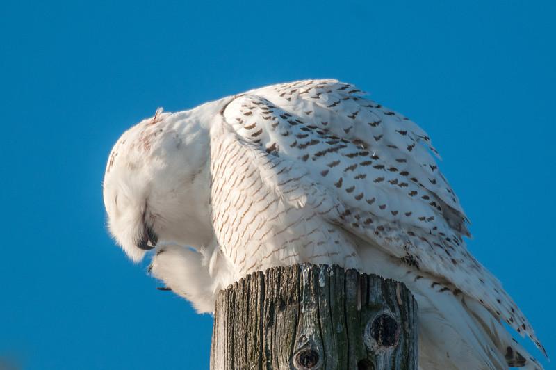 Preening Snowy Owl