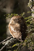Northern Saw-whet Owl snoozing