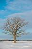 Oak tree with Snowy