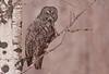 AGG-50040: Great Gray Owl (Strix nebulosa)