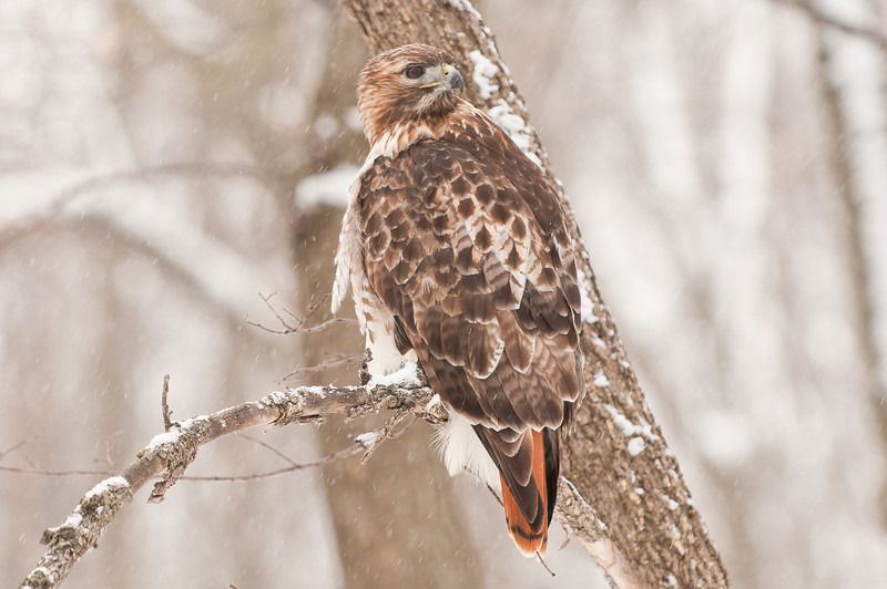 ART-11013: Red-Tailed Hawk looking back (Bueto Jamaicensis)