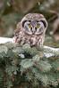 ARPT-13-101: Boreal Owl on the hunt (Aegolius funereus)