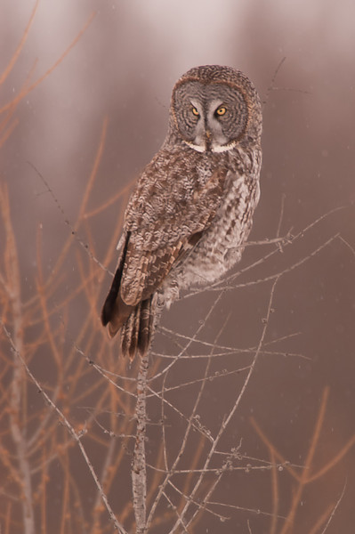 AGG-50008: Great Gray Owl searching for prey (Strix nebulosa)