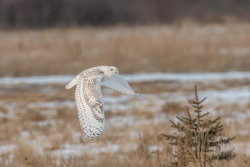 Snowy heading to perch