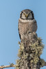 Northern Hawk Owl hunting